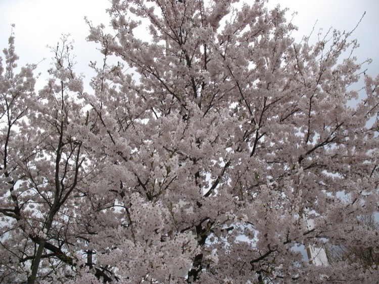 A sakura tree in bloom.